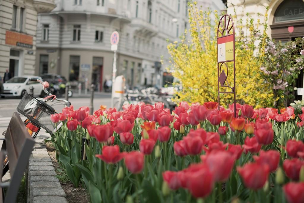 Tulpen Wien